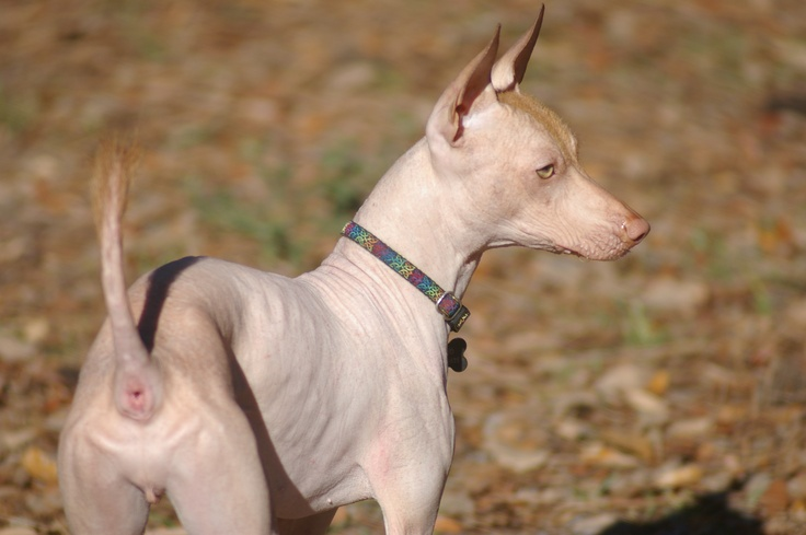 Gizmo, my anxious boy. He is making a lot of progress. Xolo, Mexican Hairless
