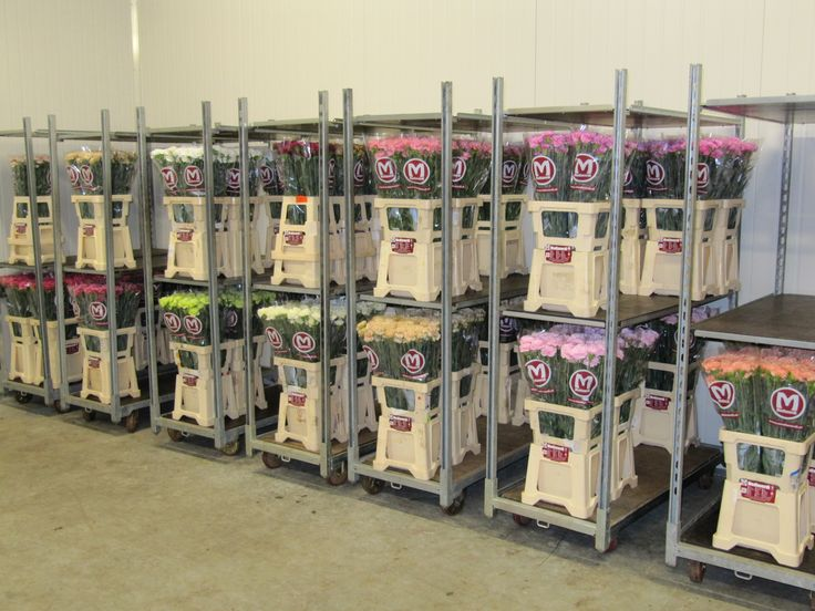 Mediaverdi-Anjers klaar voor de verkoop / Mediaverdi-Carnations ready for selling