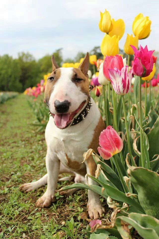 290 best bully love bull terriers images on pinterest english and happy with the pretty tulips i love me a tulip too and this color bully fandeluxe PDF