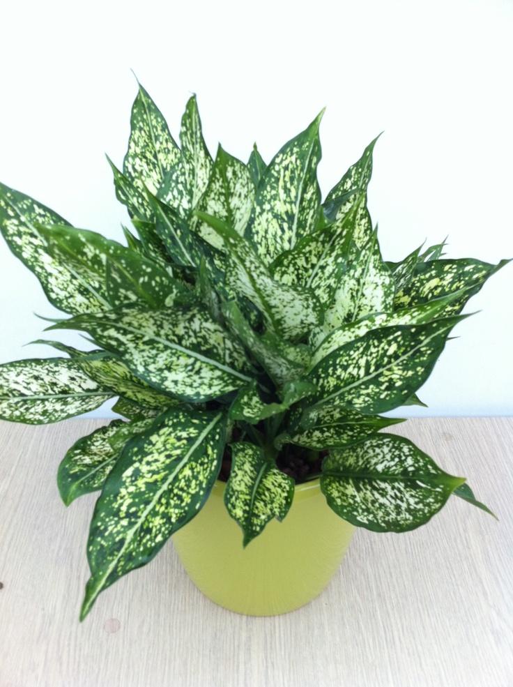 aglaonema diamond(다이아몬드 18/19, green pot)