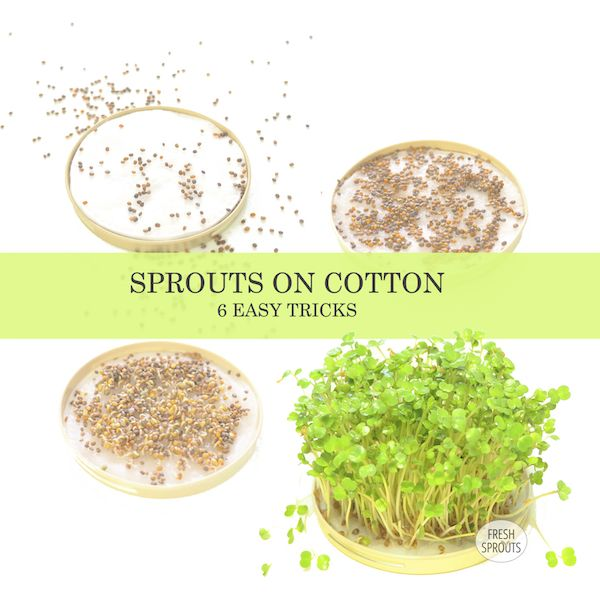 Like to grow #sprouts of #Arugula, #Mustard, #Chia and #Cress indoor? Here are some great #DIY tips for succes: https://spirefroe.dk/geldannende-spirer
