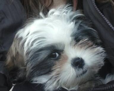 full blooded shih tzu 6 month old full blooded shih tzu lovable furry friends 6532