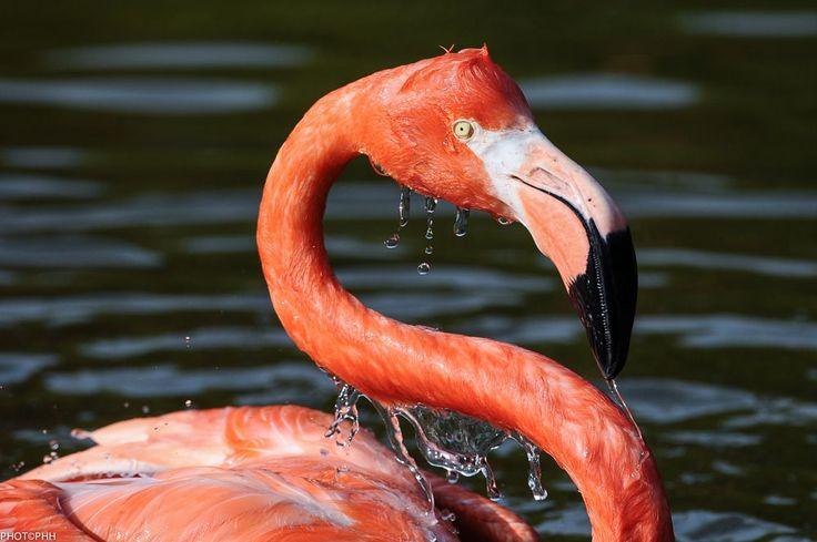 Flamingo  by peter.h.hansen1