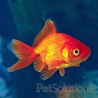 Red Fantail Goldfish Scientific Name Carassius Auratus