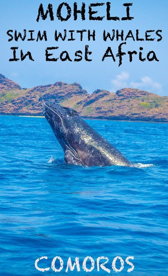 moheli island swimming with humpback whales in east africa travel