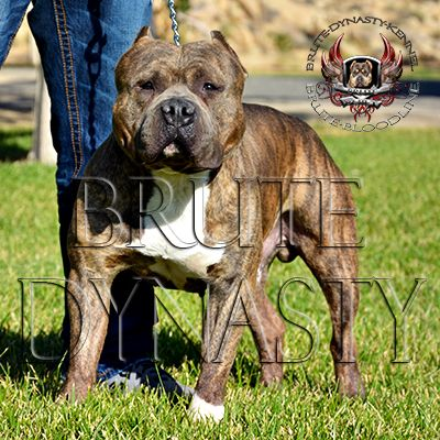 brute bloodline foundation stud, 24.5 in head, UKC champion bloodline, produces tri color, brindle, fawn and blue. www.brutedynastykennel.com