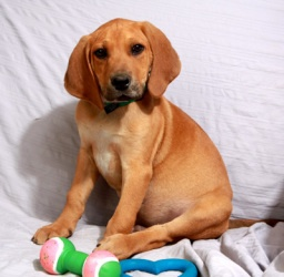 Danny Boy is an adoptable Redbone Coonhound Dog in Cabool, MO. Danny Boy Redbone Red Bone Hound / Yellow Lab mix Baby Male Medium Approximate Birthdate: 1/5/12 Weight: 10 pounds Adoption fee: $100 Wee...