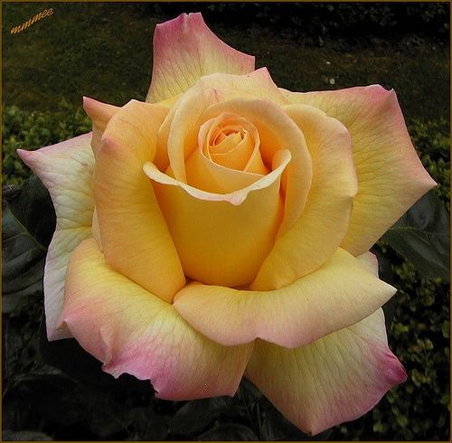 A favorite, for sure! Peace Rose