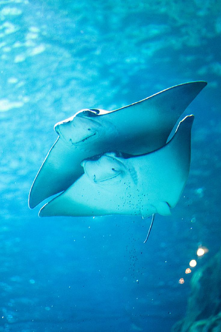 Manta ray swimming underwater with its dorsal fins spread open viewed - 54 Rays Die After Tragic Zoo Accident