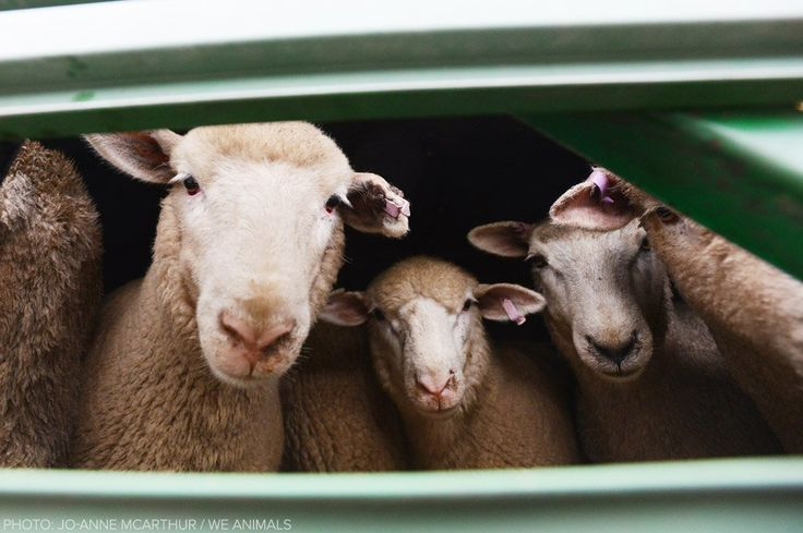 Gentle Australian sheep who have been condemned to the horror of live export.