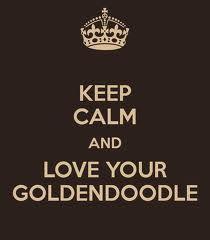 Goldendoodle love @Linda Bruinenberg Fullum Ripa Groodle, Retrodoodle, MyOodle, My Oodle, Oodle, Doodle, Dog, Poodle, Poodle Mix, Poodle Hybrid via myoodle.com
