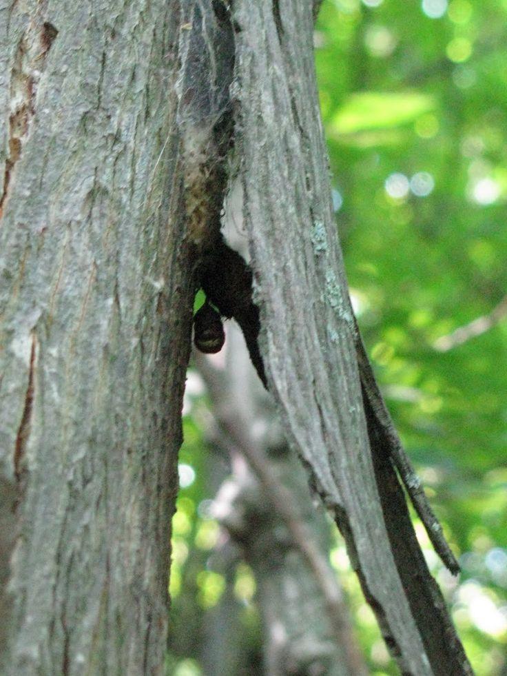 the indiana bat endangered (myotis sodalis) indiana bat by john macgregor federal status: endangered kentucky status: endangered description: the indiana bat is a small to medium-sized bat.