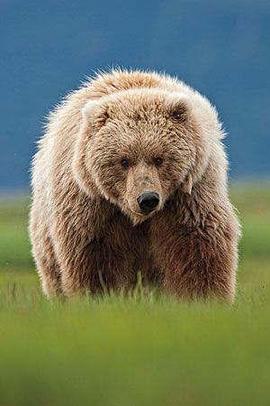 Brown bears are solitary, powerful predators who can be aggressive to one another.
