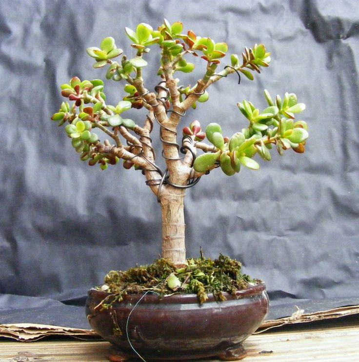 crassula ovata bonsai pesquisa google bonsai pelo. Black Bedroom Furniture Sets. Home Design Ideas