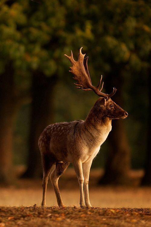 A fallow deer buck watches the sunrise.