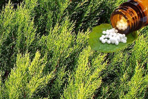 Thuja Globuli: Infos über Anwendung und Wirkung von Thuja in der Homöopathie, wie z.B. Thuja als homöopathisches Mittel in den Potenzen D6, D12, C30 ...