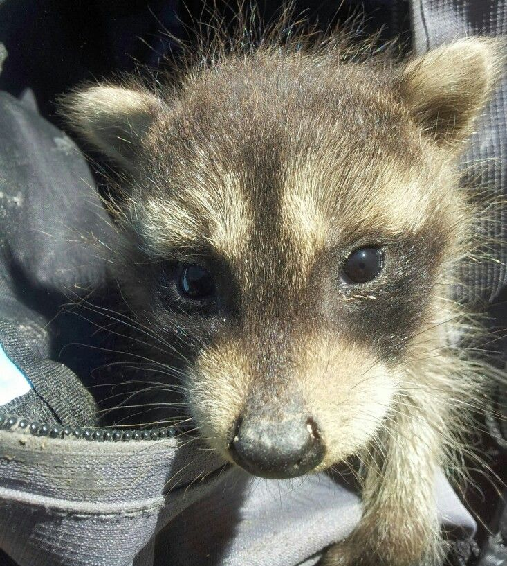 4364 Best Images About Raccoons Rule On Pinterest Love