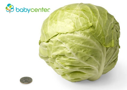 30 weeks: Your baby rivals a good-size cabbage in weight, tipping the scales this week at 3 pounds. (Length: about 15 3/4 inches, head to heel.) @babycenter #pregnancy #howbigisyourbaby: Veggies Comparison, 30 Week, 3 4 Inch, Head Cabbages, Fruit And Veggies, Photo Galleries, Large Cabbages, Baby Weighing, Baby Size