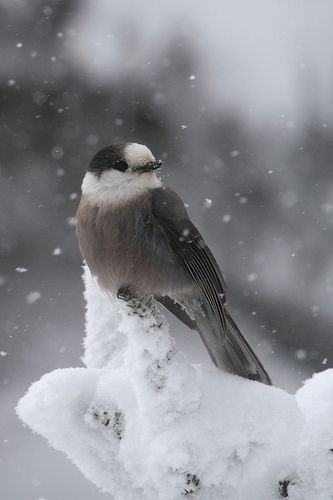 gray jay-some friends live in northern mn and the grey jays will eat bread right from their fingers.  beautiful birds!