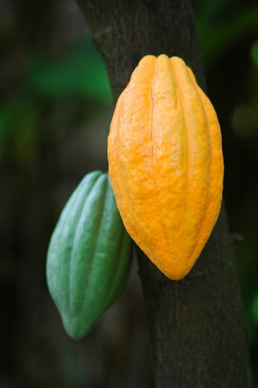 cacao pods...chocolate does grow on trees