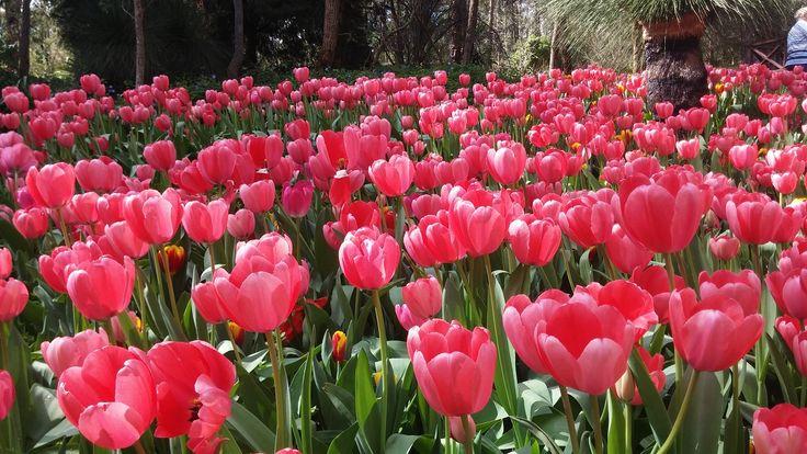 Araluen - WA - Botanical Garden Tulips - Spring time