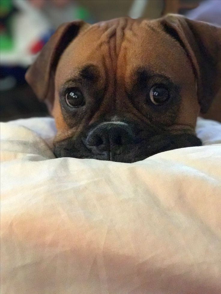 The life and love of Chief the Boxer My baby boy is too cute for words!