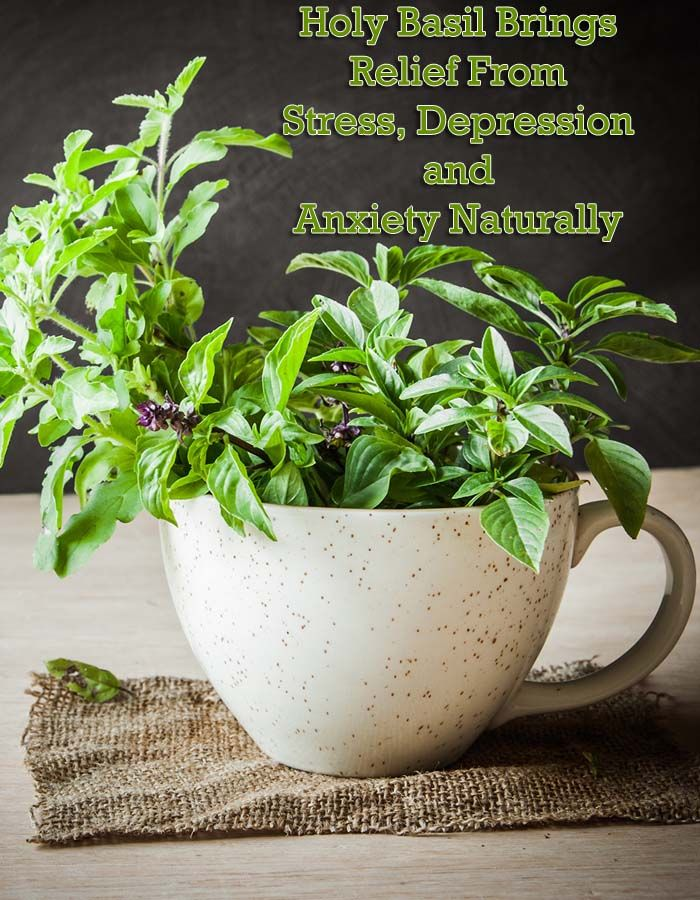 Holy Basil Brings Relief From Stress, Depression and Anxiety Naturally