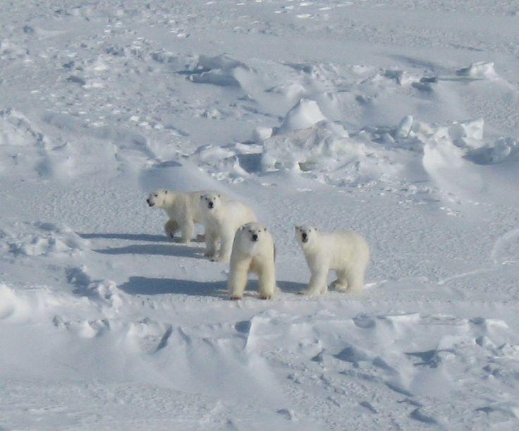 Chukchi Sea pictures | ... of Polar Bears in Arctic's Chukchi Sea Stable Despite Sea Ice Loss