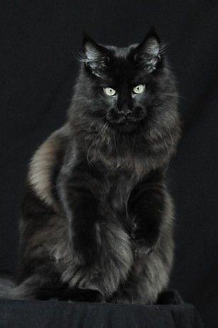 AT*Candycoons Nevada Dream Питомник Ambientcat Питомник Мейн кунов. Коты, кошки и котята мейн-кун.