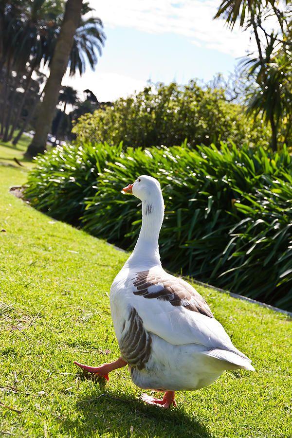 Lets Walk Goose Walk