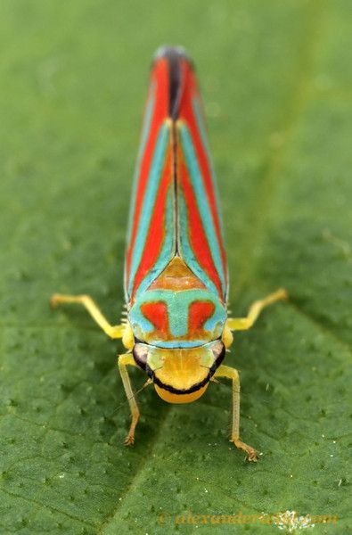 imgcgi 395600 leafhopperbeautiful bugscolor