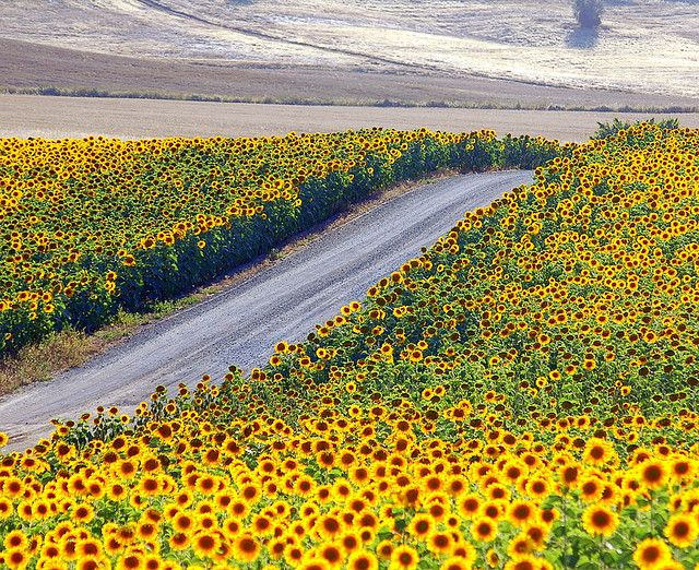 Road through Sunflowers, Alentejo, Portugal