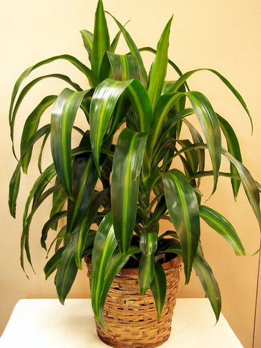 Corn Plant-Corn plant care is easy, making it an ideal house plant.  This hardy Dracaena is an unbranched, tree-like plant with sword-shaped arching leaves. Those dark-green leaves are 2 ft (60 cm) long and 4 in (10 cm) wide, and have a broad cream-to-yellow stripe down the middle. #CasasAdobesFlowerShop #IndoorPlants #CornPlant #GreenThumb #FlowerLover