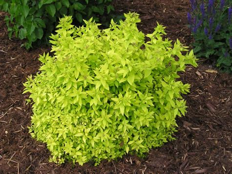 Goldmound Spirea: An impressive garden shrub for colour effect, featuring light gold/bright green foliage which emerges bronze, turning red in fall, and flat-topped clusters of pink flowers in early summer; ideal size for garden detail use, forms a dense, compact ball, neat and tidy.-->MINI SUNGLO  Spirea is a smaller version of this.