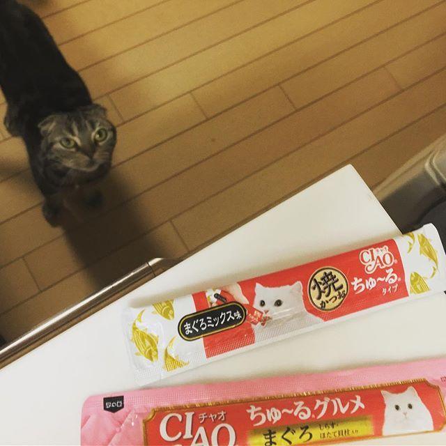 羨望の眼差しと選択の時😺❓ #スコティッシュフォールド #スコティッシュ #scotishfold  #ネコ #ねこ #猫 #cat #愛猫 #にゃんこ #にゃんだふる #ねこ部 #mycat #CatPic #CatPhoto #Catstagram #ちゅーる #マグロはもうガッツかなくなりました🐱 #焼きガツオにメロメロメロン😻 #どっちもマグロ入ってますけどねwww