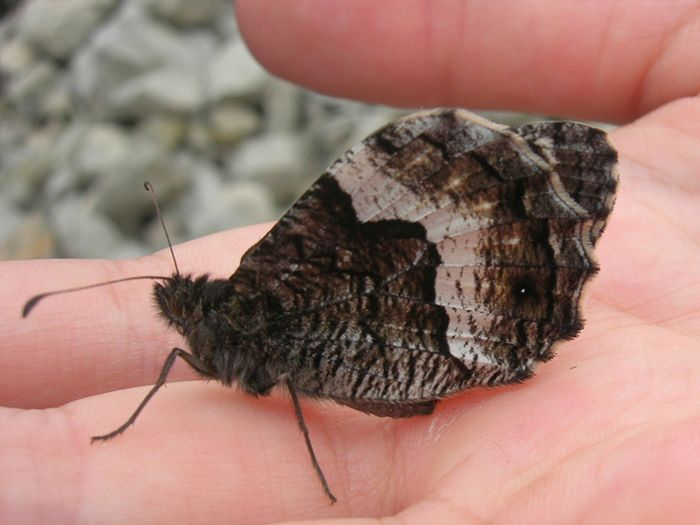 13 août ... Petit Sylvandre ... j'ai un chouette bouquin sur les papillons