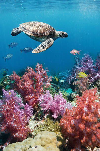 Green sea turtle over soft corals