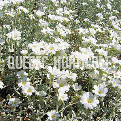 image de Cerastium tomentosum