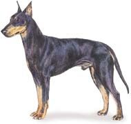 Manchester Terrier Page - AKC Breed Standard for Manchester Terrier