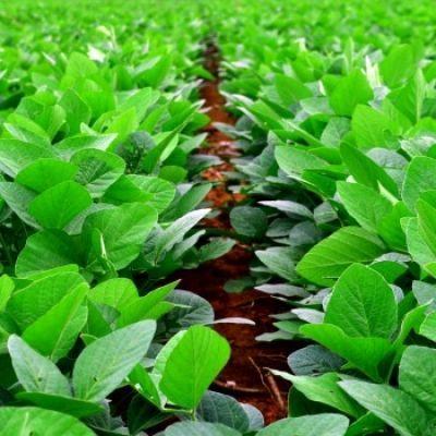 Is soja gevaarlijk? Wat is soja en wat zijn de klachten en nadelen van soja?