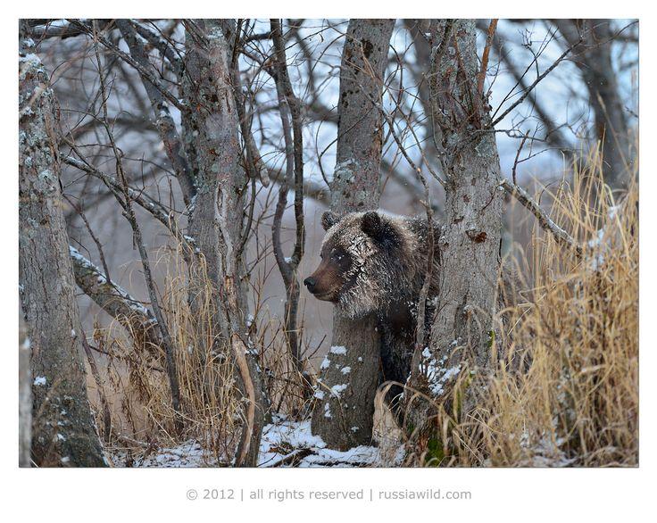 Бакенбарды #бурый медведь #осень #камчатка Автор: Николай Зиновьев