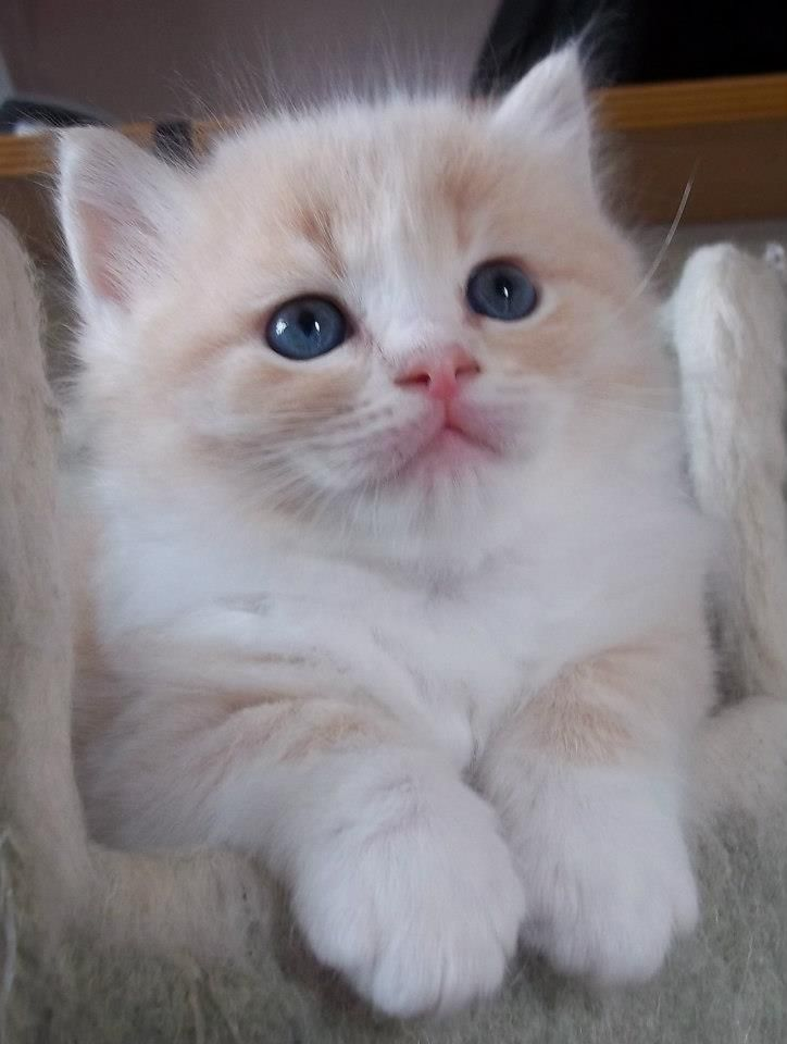 RagaMuffin Cats & RagaMuffin Kittens Shrewsbury, Shropshire, UK. Blue Colourpoint, Seal Colourpoint, Bi-Colour & Mitted