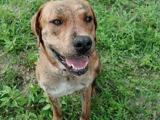 Meet Al Pacino aka AJ (3 years / 88 lbs) a Petfinder adoptable Boxer Dog | Morehead, KY | Al Pacino aka AJ, is a Boxer-Labrador mix. He is brindle in color and weighs about 88 lbs. He was...