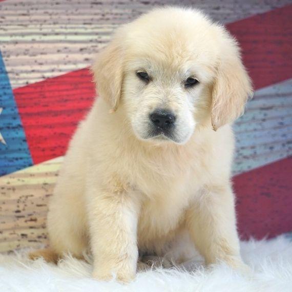 Blake Golden Retriever Puppy 571862 Puppyspot Golden Retriever Retriever Puppy Puppies