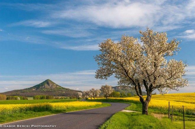 Virágzó repceszőnyeg borítja a Káli-medencét | Sokszínű vidék
