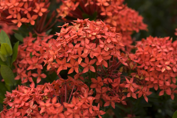 Top 28+ - Common Flowering Bushes - perennial common ...