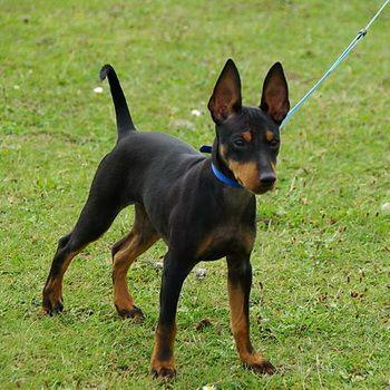 Английский той-терьер: фото породы собак, характеристики той-терьеров