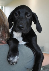Carl is an adoptable Labrador Retriever Dog in McKinney, TX.  Primary Color: Black Secondary Color: White Weight: 25.3 Age: 0yrs 3mths 1wks  Animal has been Neutered...**Pets are being adopted for half off right now at SPCA in Mckinney**