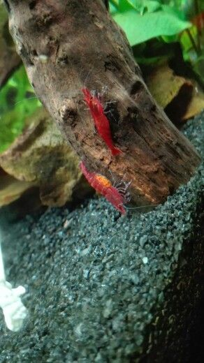 Buried female cherry shrimp