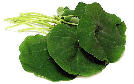 """Nasturtium Leaves - Nasturtium leaves look like small lily pads: bright green, round, with a central stem. They range in size from a few inches in diameter to six or 7 inches around. The plants themselves are flowering trailing vines with yellow, orange and magenta blooms. The name """"Nasturtium"""" comes from the Latin words for nose (nas), and tortum (twist); essentially """"twisted nose"""". It was named for the reaction on a person's face after biting into the peppery, bittersweet leaves. The…"""
